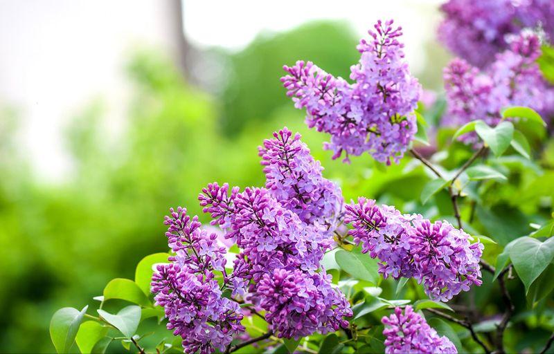 Prune flowering trees and shrubs